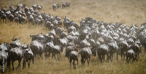 Big herd of wildebeest in the savannah Poster Mural XXL