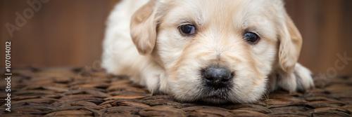 Obraz Golden retriever puppy - fototapety do salonu