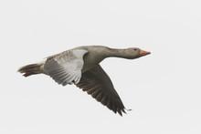 Greylag Goose Migrating