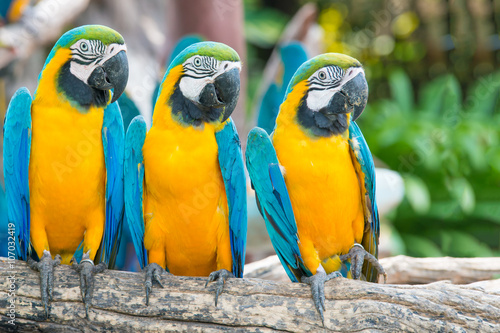 Foto op Canvas Papegaai Blue and Gold Macaw in the forest