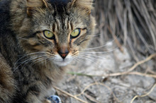 Portrait Of A Longhaired Brown And Black Feral Feline,