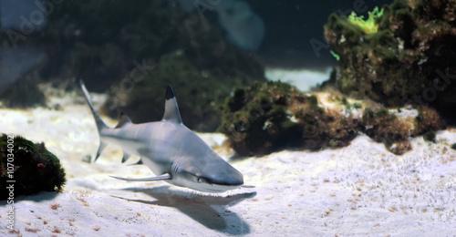 Valokuva  Whitetip reef shark