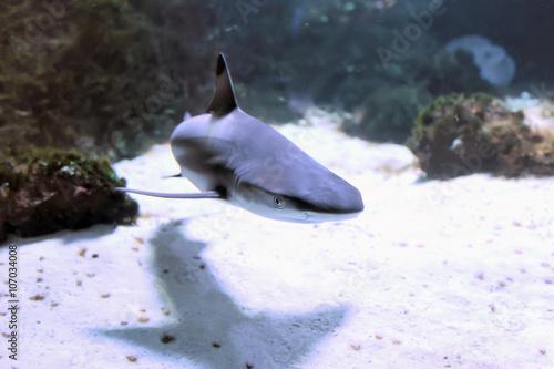 Whitetip reef shark Canvas-taulu