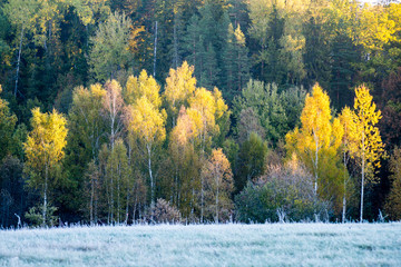 Fototapetafir trees on a meadow down the will to coniferous forest in fogg