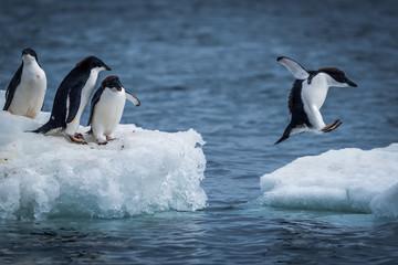 Pingvin Adelie skačući između dvije ledene ploče