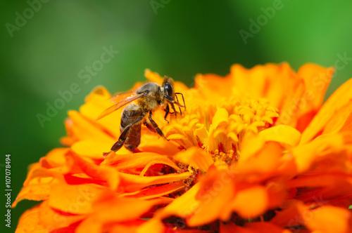 Aluminium Prints Bee honey bee collects flower nectar