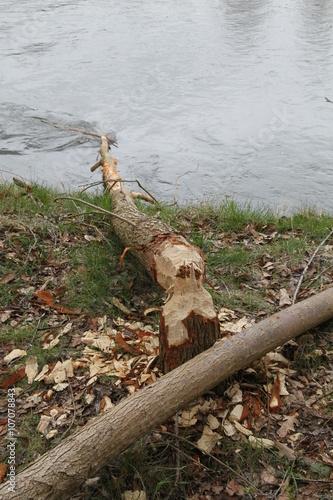 Photo  Bieber fällt Bäume durch Abnagen des Baumstammes