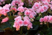 Beautiful Pink Begonia Flower In The Garden. Group Of Begonia Flower.