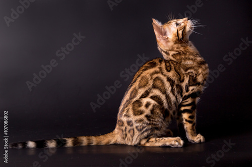 Bengal cat on a black background Canvas Print