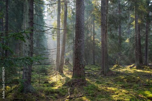 Fototapeten Wald Sunbeam entering old coniferous stand of Bialowieza Forest