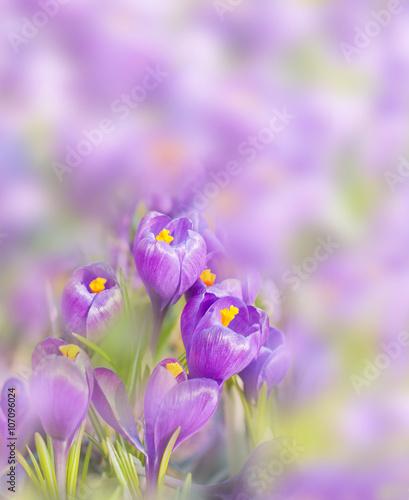 subtelne-pastelowo-fioletowe-krokusy-na-rozmazanym-tle