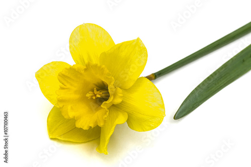 Canvas Prints Narcissus Flower of yellow Daffodil (narcissus), isolated on white backgro