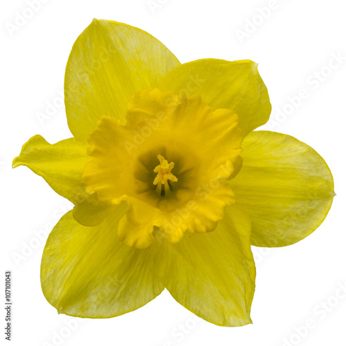 Wall Murals Narcissus Flower of yellow Daffodil (narcissus) close-up, isolated on whit