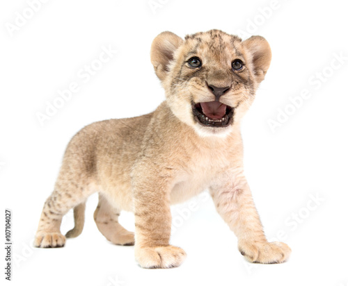 Staande foto Leeuw baby lion isolated on white background