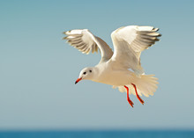 Seagull In Flight Against The ...