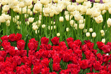 Białe I Czerwone Tulipany