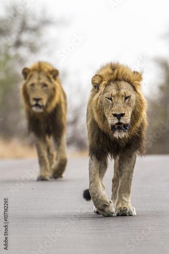 Staande foto Leeuw Lion in Kruger National park, South Africa