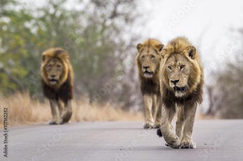 Foto op Plexiglas Leeuw Lion in Kruger National park, South Africa