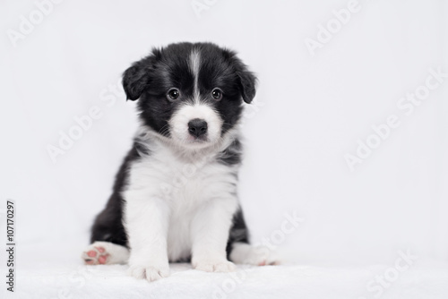 Fotografie, Obraz  Border collie puppy
