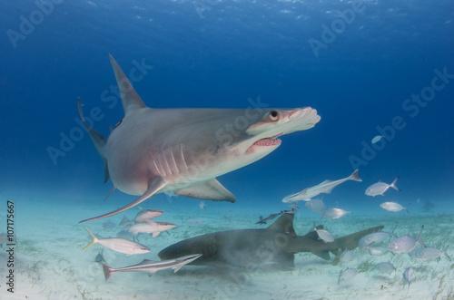 Großer Hammerhai / great Hammerhead shark und Ammenhai, Bimini / Bahamas Canvas Print