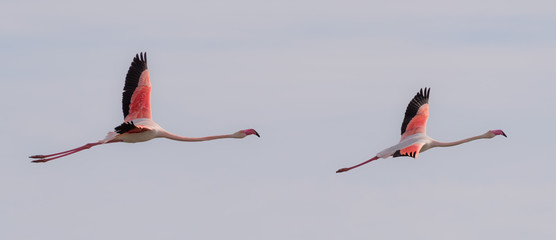 FototapetaTwo flamingos flying together