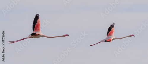 Two flamingos flying together