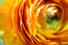 Orange Ranunculus Flower Up Cl...