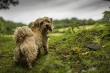 Norfolk Terrier In Welsh Lands...