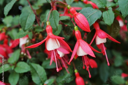 Hanging Fuchsia Flowers In Shades Of Pink Purple And White