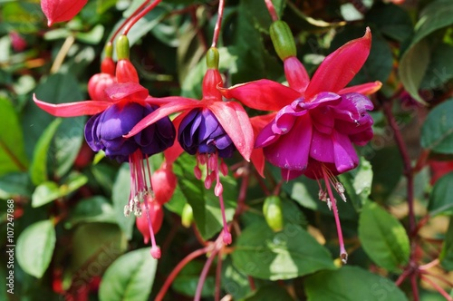 Hanging fuchsia flowers in shades of pink, purple and white Wallpaper Mural