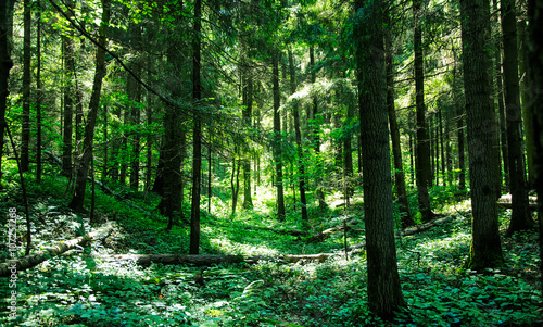 Foto auf Leinwand Osteuropa sunlit greenery in the wooded forest
