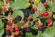 Blackberries Ripening In The English Hedgerow