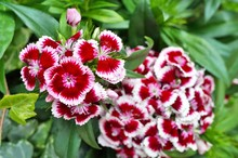 Pink And White Sweet William D...