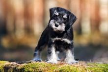 Adorable Miniature Schnauzer Puppy Posing Outdoors