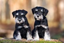 Two Miniature Schnauzer Puppie...