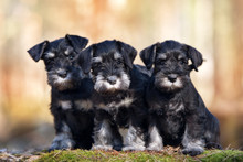 Three Miniature Schnauzer Pupp...