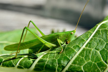 Young, Green Grasshopper Eats ...
