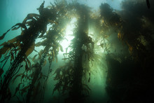 Giant Kelp Forest And Sunlight