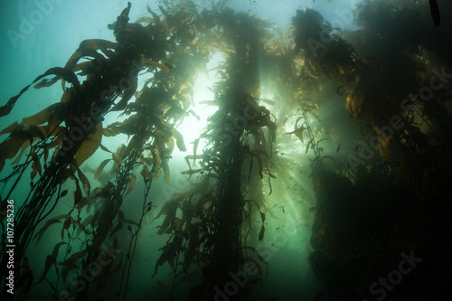 Tuinposter Koraalriffen Giant Kelp Forest and Sunlight