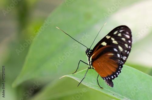 Foto auf Leinwand Schmetterling Vlinder op groen blad