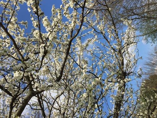 Fiori Bianchi Frutto.Albero Frutto Primavera Contro Luce Fiori Bianchi Con Cielo