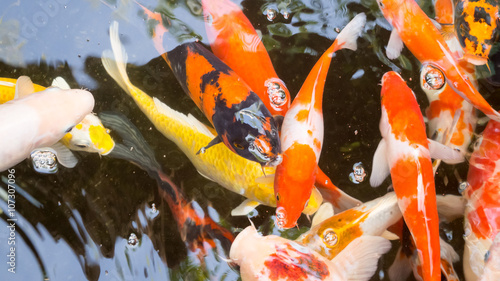 Recess Fitting Seafoods Koi in the pond.