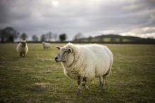 Pregnant Ewe. Spring. Sheep In...