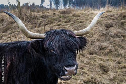 Fototapety, obrazy: Schottisches Hochlandrind mit schwarzem Fell
