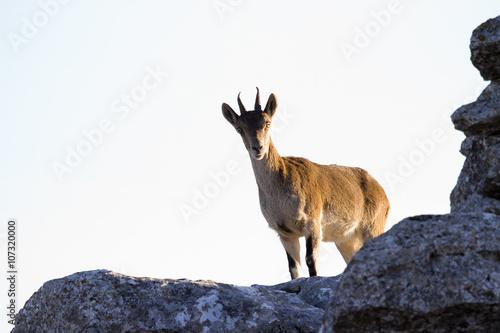 Iberian ibex, Spanish ibex, Spanish wild goat, or Iberian