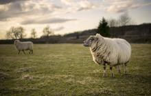 Pregnant Ewe. Spring. Sheep In Cotswold Landscape. Cheltenham, UK