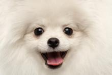 Closeup Furry Happiness White Pomeranian Spitz Dog Curious Smiling