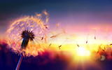 Fototapeta  - Dandelion To Sunset - Freedom to Wish