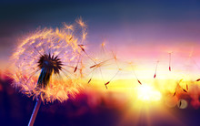 Dandelion To Sunset - Freedom ...