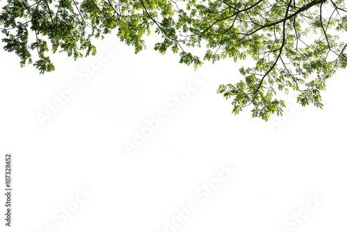 Carta da parati green tree branch isolated